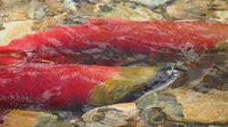 Hot B.C. Rivers Put Fish At