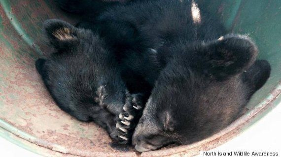 Refusing To Kill Bear Cubs Leads To Suspension For B.C. Conservation