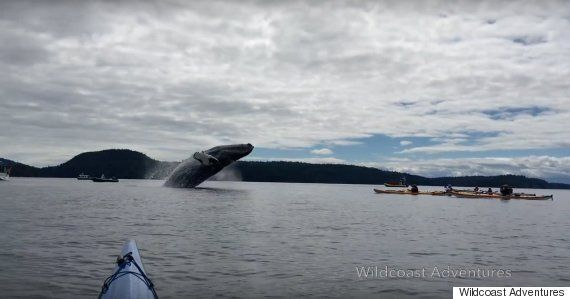 Humpback Whales Breached Right Next To These Kayakers And We Wet Ourselves A