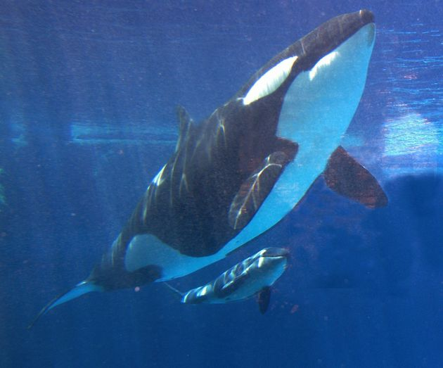 SeaWorld To End Killer Whale