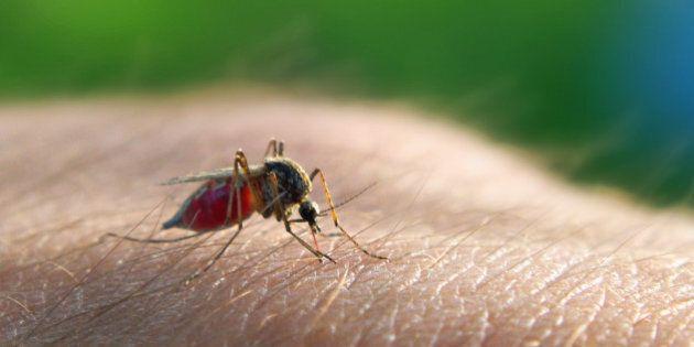 Mosquito (Theobaldia annulata) sucking blood.