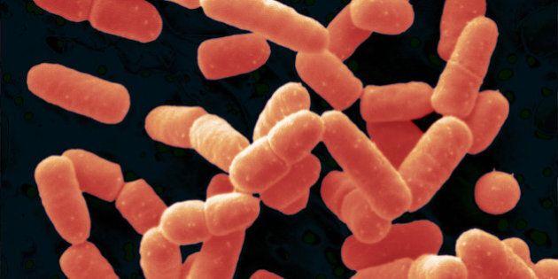 Lactobacillus Salivarius Bacteria