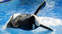 SeaWorld Says The Orca From 'Blackfish' Is