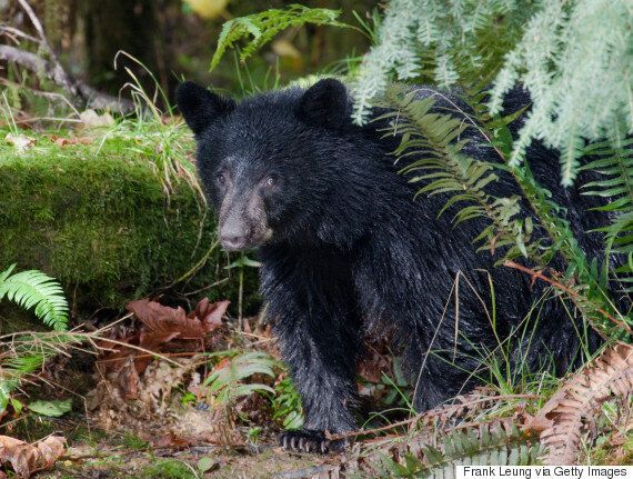 North Vancouver Camper Comes Face-To-Face With Bear Poking At His
