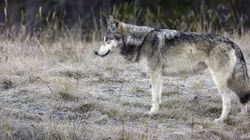 2nd Wolf Killed In Banff National