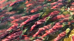 Foreign-Owned Fish Farms Are Devastating B.C.'s Wild