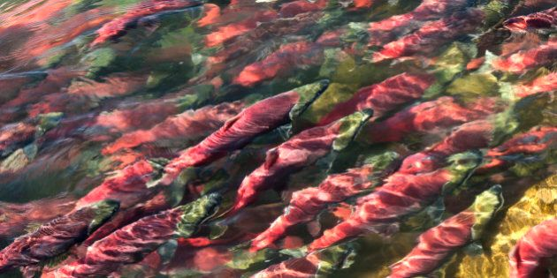 Sockeye salmon also known as red salmon, migrating upstream to go spawn (Oncorthynchus nerka)Adams River,...