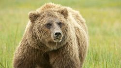 Grizzly Siblings Dead After Being Relocated From Alberta