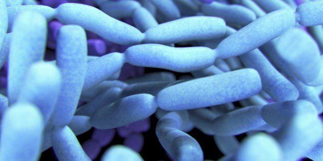 Probiotic Lactobacillis Bacteria