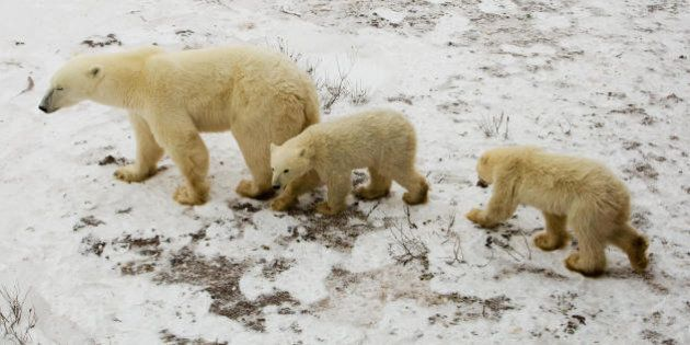 A mother Polar Bear and her cubs wait on the tundra next to the Hudson Bay 14 November 2007 outside Churchill,...