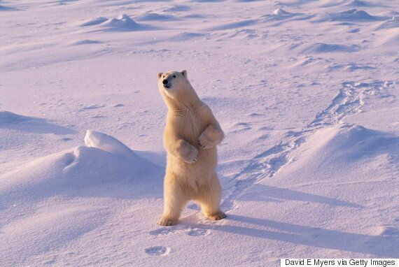 Churchill, Man. Reporting More Polar Bear Encounters With