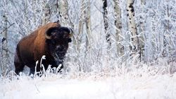 Giant Herds Of Bison Could Roam Banff National