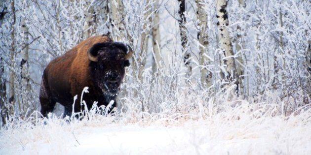 Bison in the snow, Elk Island National Park, Alberta,