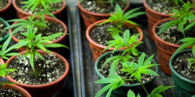 Marijuana seedlings.