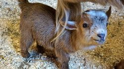New England Zoo Welcomes Adorable Dwarf