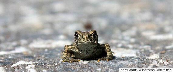 Endangered Brown Toads In Nakusp, B.C. Are Dividing The