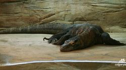 Oldest Komodo Dragon In Captivity Dies At Calgary