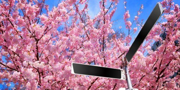Pink Cherry Blossoms Behind Blank Street Signs