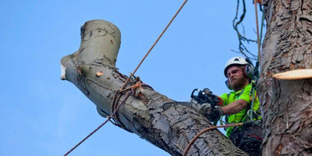 A tree surgeon saws through a roped bough using the tree felling process known as sectional dismantling, or section felling. By this process the tree is felled one piece at a time after the smaller branches have been cut away. Here a bough rope and rigged will be gently lowered to the ground once the cut is complete. This felling technique involves using ropes and spikes for the surgeon to climb the tree and is ideal for trees that are dead, dangerous, storm damaged, overhanging buildings & property or trees which have difficult access and or are growing in a confined space.