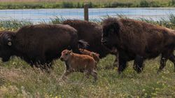 World's First In-Vitro Bison Calves Born In