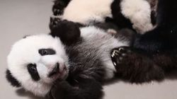 Toronto's Panda Cubs Are Less Than 3 Weeks From Their
