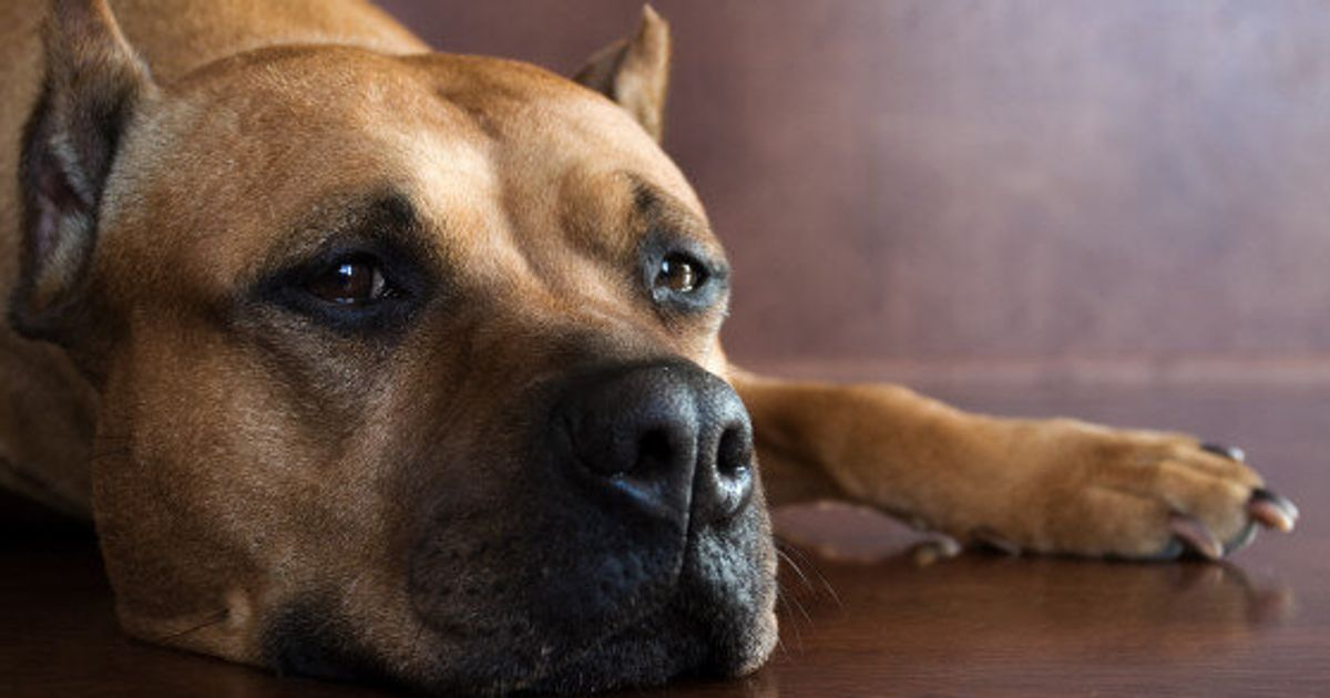 Lawyers Fighting OSPCA Bid To Euthanize 21 Pit Bulls From