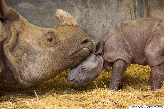 Indian Rhinoceros Gives Birth To Male Calf At Toronto