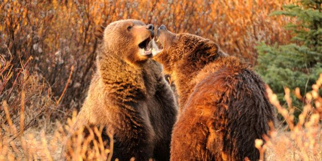 a pair of Grizzly siblings fight near Jasper National park,