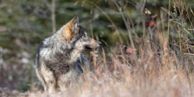 A wild wolf pup stands in a meadow in Banff National