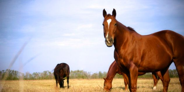 Alberta SPCA Seizes Over 80 Allegedly Abused Horses From Wandering River
