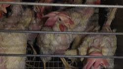 Graphic Video Allegedly Shows Cruel Conditions At Canadian Egg