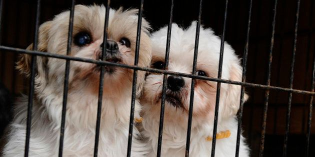 TORONTO, ON - FEBRUARY 2:  2 shih tzu s  that were rescued from a puppy mill cuddle in their cage  as the truck arrives at HS on February 2nd 2013.....Twenty puppies,including two who were found abandoned in a snowbank last night arrived in Toronto Humane Society on River st today  from Montreal where they are being saved from euthanization after a humane society supplier offered to pay the $800 bill to transport them...the puppies were put in their cages and given those who didnt have them were given their shots to prepare them for adoption to a good and loving home.....COLIN MCCONNELL TORONTO STAR)        (Colin McConnell/Toronto Star via Getty Images)