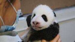 Toronto's Panda Cubs At 8 Weeks Old Are A Sight To