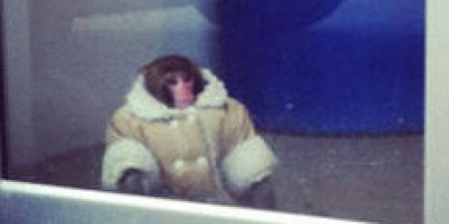 Darwin The Ikea Monkey Is Getting Roommates As Sanctuary