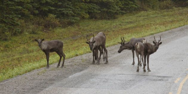 Group of Woodland Caribou along the Alaska Highway, northern British Columbia,