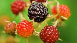 Black Raspberries Come Out On Top For