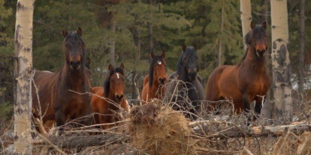 [UNVERIFIED CONTENT] These wild horses are a smaller herd that roam the Ghost Forest of Alberta along the eastern slopes of the Rocky Mountains. The dominate stallion that protects the herd is on the far left. Ghost Forest, Alberta, Canada