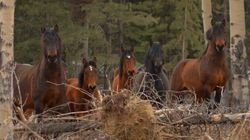 Alberta Is Using Birth Control To Keep Wild Horses In