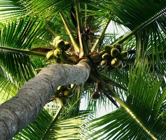 69 Clever Uses For Coconuts, Not Just The