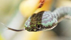 Mailing Venomous Snakes From China To Manitoba Is A Bad