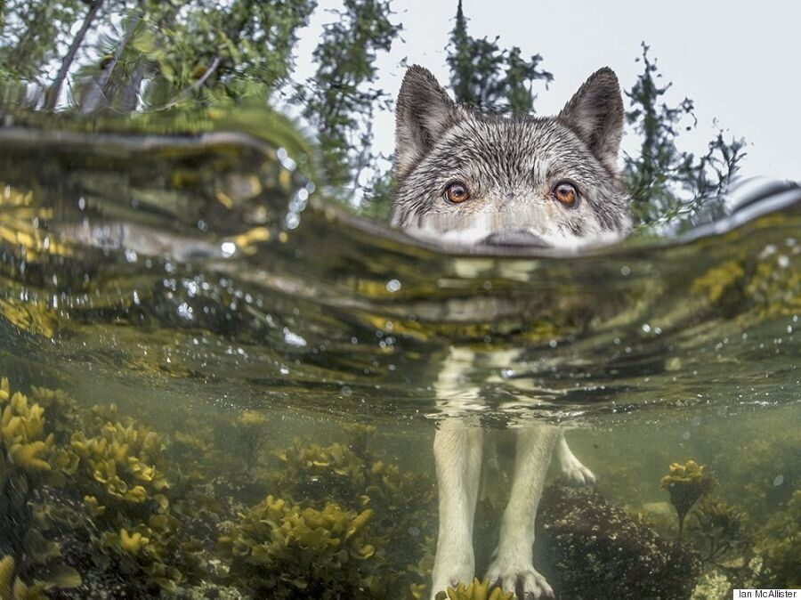 Sea Wolf Photo Shot In B.C. Earns National Geographic