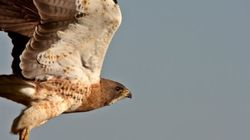 Dive-Bombing Hawk Doesn't Give AF About The Calgary