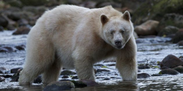 Bear Hunt Has Not Ended In The Great Bear