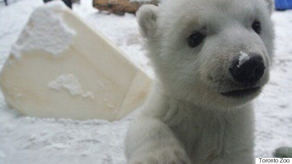 Toronto Polar Bear Cub Spends 3 Month Birthday Playing In The