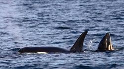 Killer Whale Baby Boom In B.C. Is Still Going