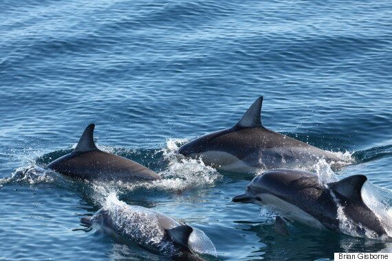 Short-Beaked Common Dolphins Seen Alive For 1st Time In