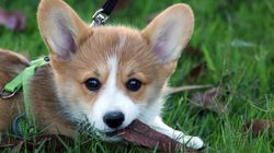 Corgi Ends Up In Hawaii After Catching The Wrong