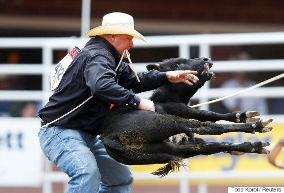 Calgary Stampede Cbc Needs To Stop Giving Animal Cruelty