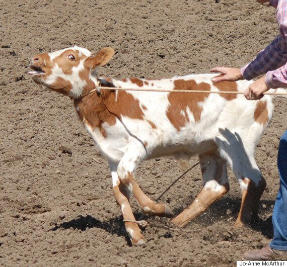 Calgary Stampede: CBC Needs To Stop Giving Animal Cruelty