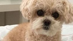 Poodle In 'Purse' Stolen In B.C. Mall Parking